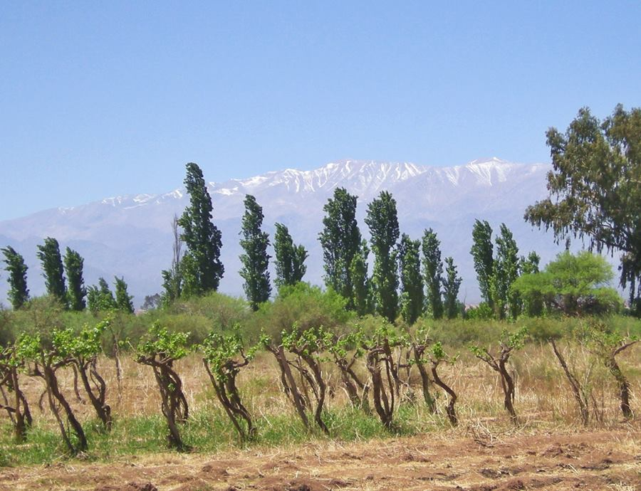 grape vines and the snowed peaks of the Famatina Mountains
