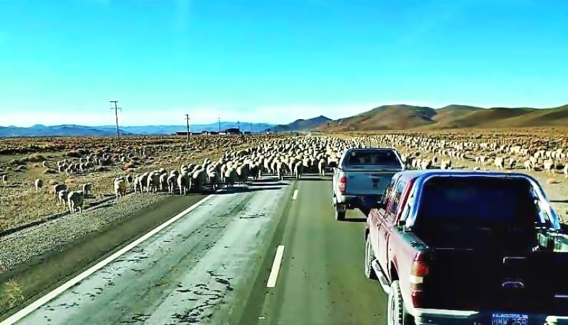 Sheep on the Ruta 40 highway in Argentina