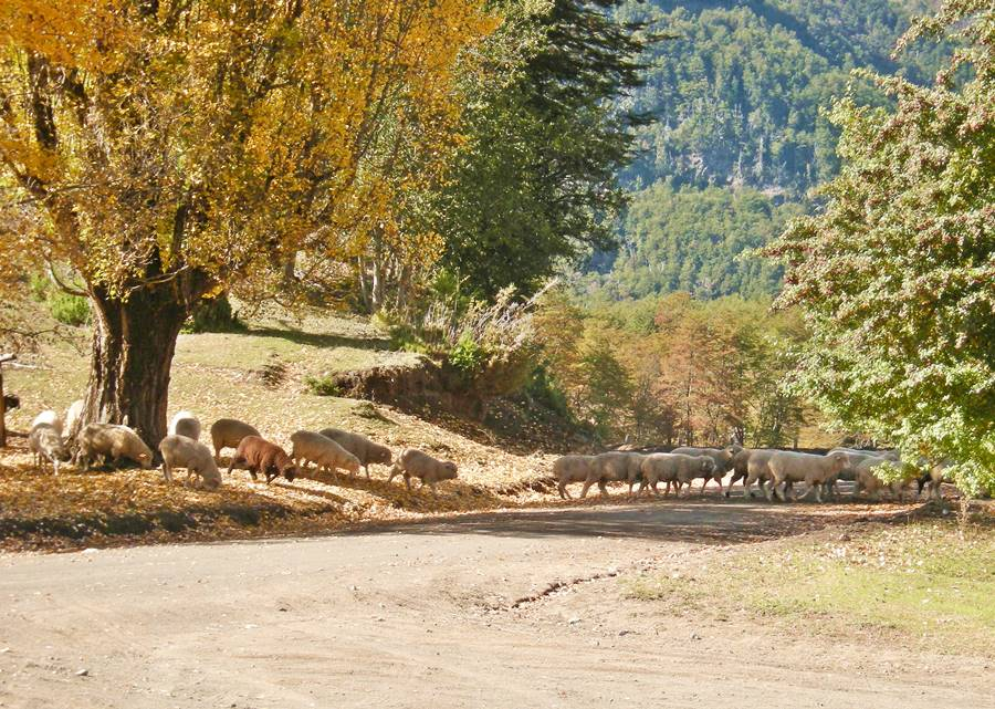 Sheep in Quintupuray in Neuquén, Ruta 40, Road of the Seven Lakes
