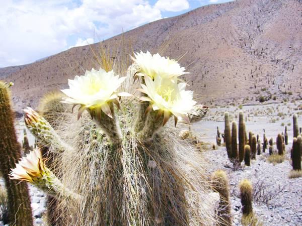 Flor del Cardón
