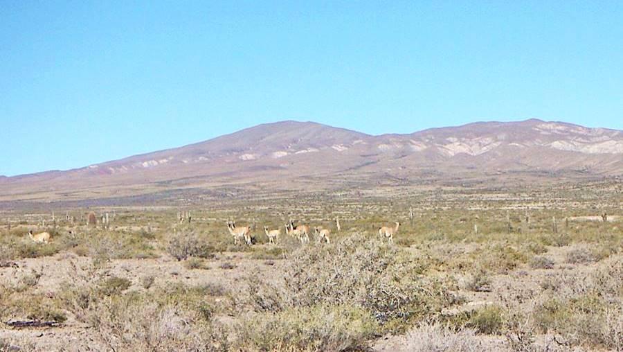 Guanacos en el Parque Nacional Los Cardones, Ruta 40, Salta