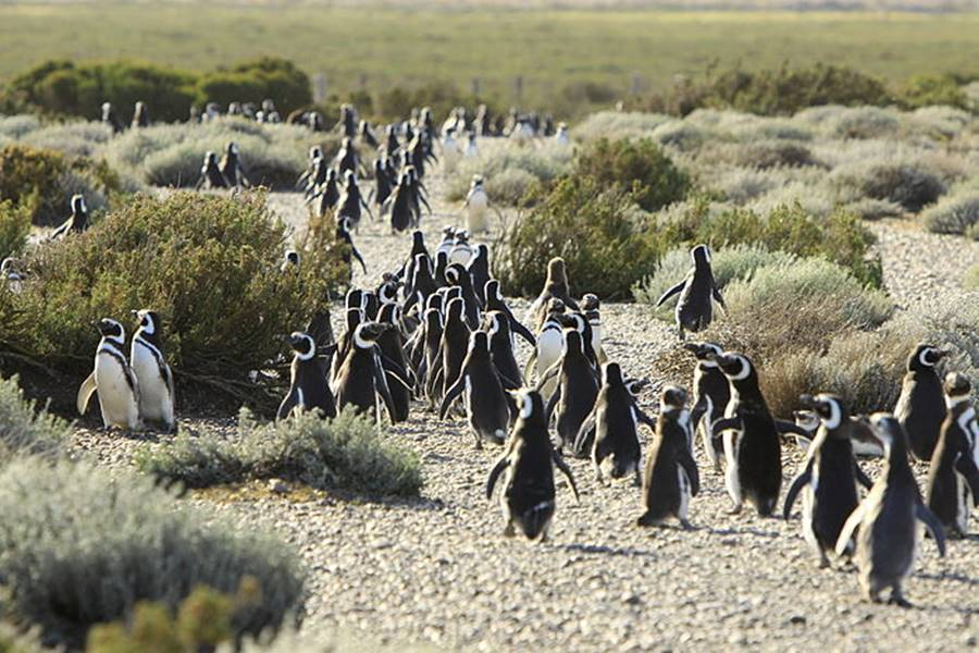 Penguins at the Provincial Reserve at Cabo Vírgenes